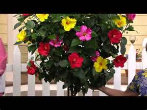 Cottage farms 3 in 1 braided tropical hibiscus tree with dan hughes