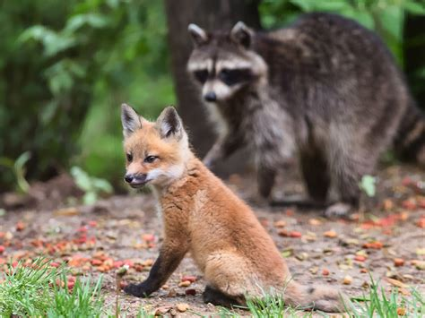 fox like what does a fox look like breeds picture