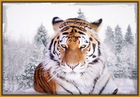 fotos animales tigres imagenes de los imponentes animales tigres fotos de tigres
