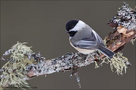 black capped chickadee look back