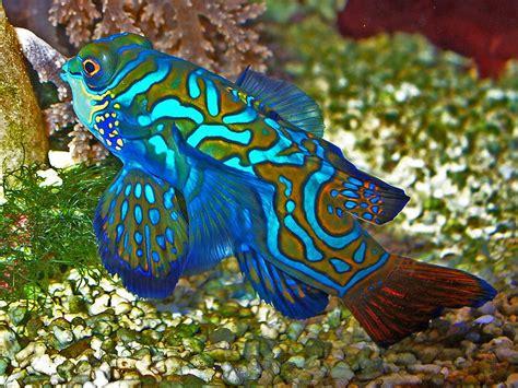 alimentadores ocea animal a day mandarinfish