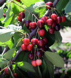 trees with fruit on pinterest | fruit trees, fig tree and