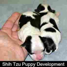 shih tzu growth shih tzu puppy information