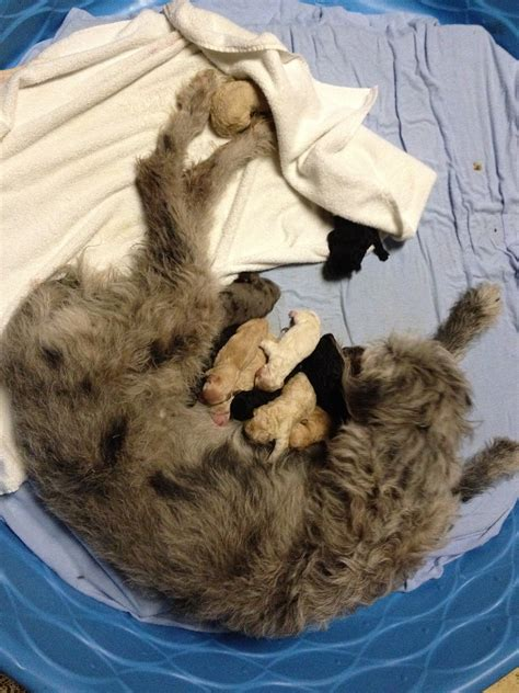 great dane poodle mix puppies for sale pin akc pomeranian puppies for sale in south shore missouri classifieds on