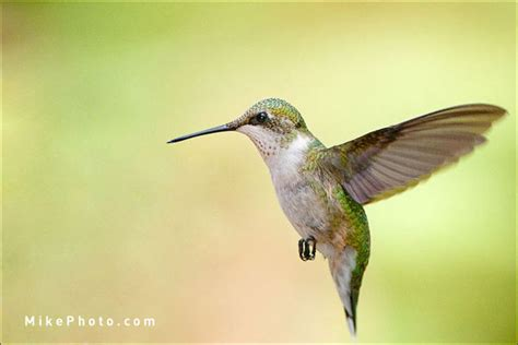 where to photograph hummingbirds at holiday beach