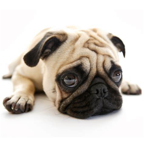 pk in pugs pugs for iphone app marketing report lebanon en apptweak