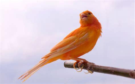 Harga Pakan Burung Kenari Yang Bagus 10 jenis kenari yang paling bagus suaranya untuk lomba