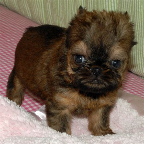 brussels griffon puppy mr puppy pictures
