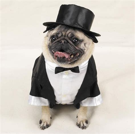 pug suits pugs in suits dress the clothes for your pets