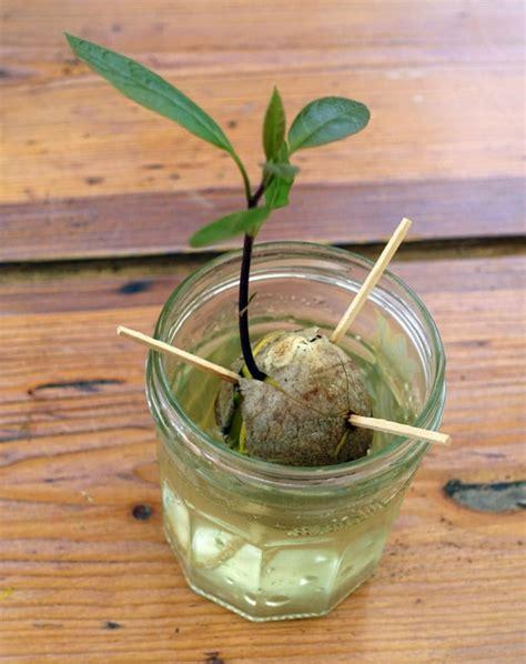 Planter Un Noyau D Avocat Germ faire pousser un noyau d avocat dans un verre de glace