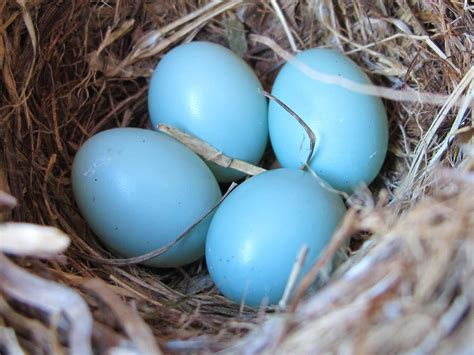 what color are blue eggs blue barrens nests and eggs