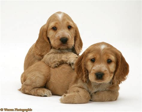 cocker spaniel breeders cocker spaniel puppies 21 free wallpaper dogbreedswallpapers
