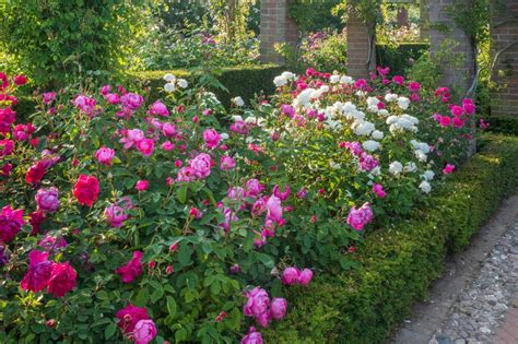 rose royal everything you need to know about roses hgtv