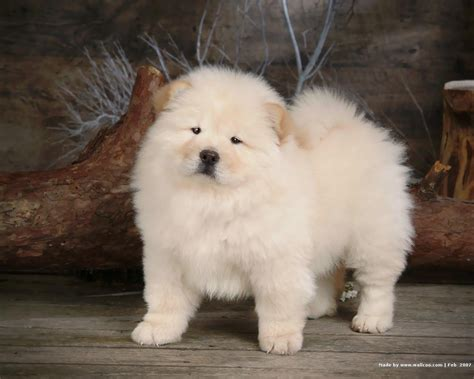 chow puppy chow chow wallpaper dogs wallpaper 13936842 fanpop