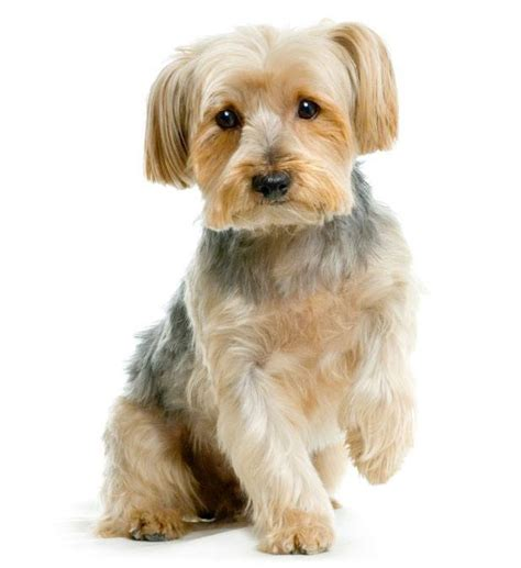 yorkie secrets names for your canine cutie