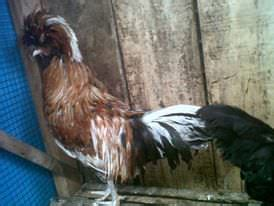 Jual Bibit Ayam Kung Bandung jual kalkun jualayamkalkun