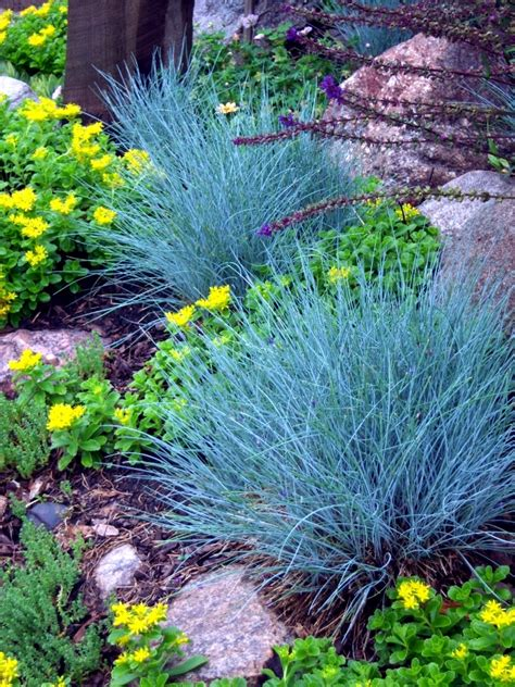 plants for rock garden suitable for rock garden plants the blue fescue