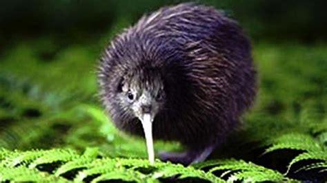 ferrets kill  kiwi   weeks  tongariro