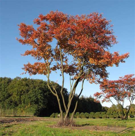 Kupfer Felsenbirne Amelanchier Lamarckii 3016 by 23 Best The Amelanchier Tree Images On
