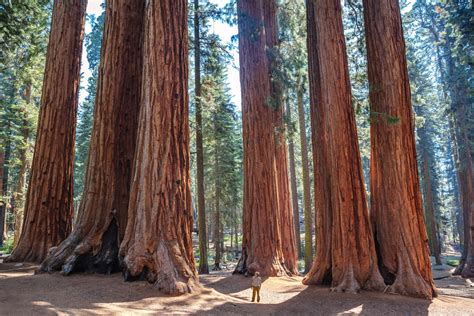 cloned ancient redwood trees    key  fighting