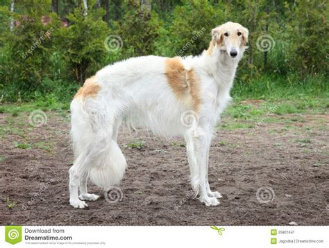 greyhound puppy price russian borzoi greyhound standing stock image image 25801641