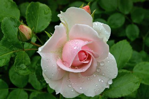Rosebud Putih gambar alam mekar menanam putih daun bunga