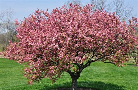 crab apple tree garden pinterest
