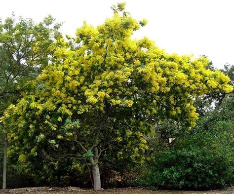 alberi da giardino sempreverdi a crescita rapida alberi a crescita rapida alberi tipologie di alberi a