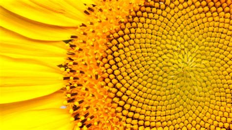 sunflower fibonacci sequence golden section 15 uncanny exles of the golden ratio in nature