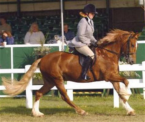 welsh section d society british native pony breeds