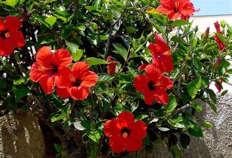grow hibiscus  home garden acegardener