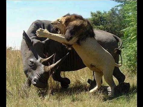imagenes de leones salvajes image gallery leones salvajes cazando