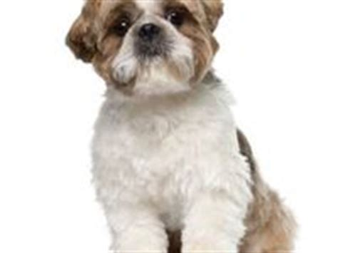my shih tzu doesn t want to eat 17 best images about shorkie grooming styles on yorkie new haircuts and