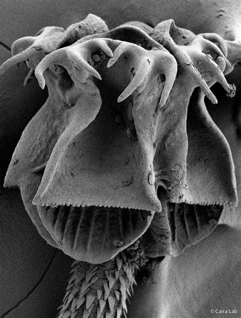 Tallying Tapeworms: New Book Details Species, Hosts