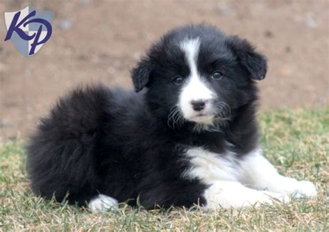 border collie puppies for sale in va best 25 collie puppies for sale ideas on border collies for sale collies