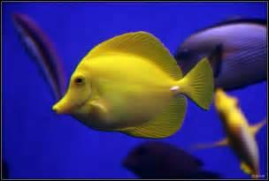 Aquarium Bed Poisson Chirurgien Jaune Zebrasoma Flavescens Le