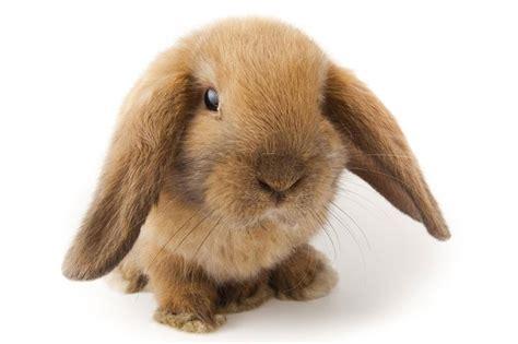 conigli nani alimentazione alimentazione coniglio nano conigli nani consigli per