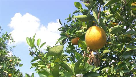 central florida fruit trees florida citrus ripens on citrus trees in grove in light