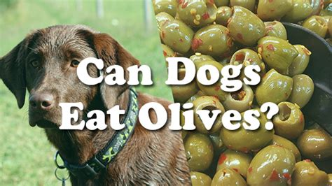 can dogs eat olives can dogs eat olives pet consider
