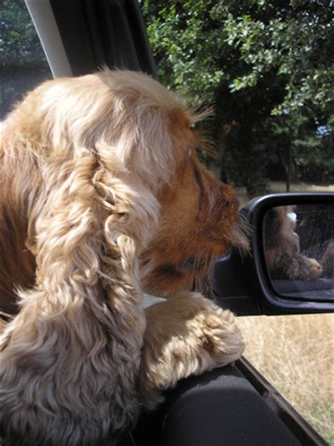drooling a lot suddenly dogs drolling in car breeds picture