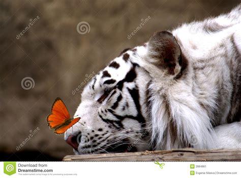 tigre y mariposa imagenes tigre y mariposa imagen de archivo imagen 2884861