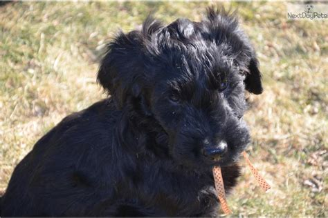 briard puppies for sale briard for sale for 1 500 near vancouver columbia a5766867 e841