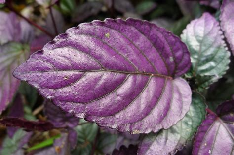purple leaf private mixture