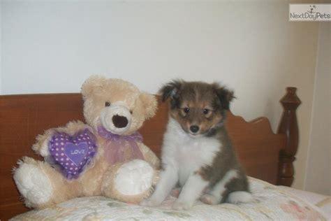 miniature sheltie puppies for sale miniature sheltie puppies for sale breeds picture