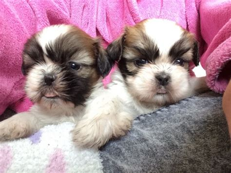 shih tzu puppies for sale in hertfordshire shih tzu puppies for sale broxbourne hertfordshire pets4homes