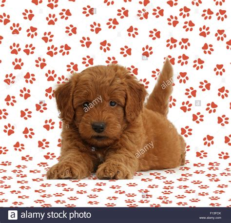 golden retriever x poodle golden retriever x poodle f1b goldendoodle puppy on paw print stock photo royalty