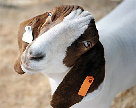 Kitchen Knives Guide Goat Ear Tags Homesteading Guide How To Keep Goats