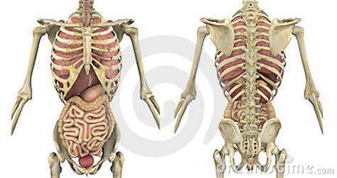 interno corpo umano il meglio di potere corpo umano interno immagini biologia