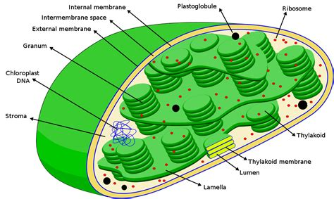 cross section of chloroplast the taming of the chloroplast evolutionary routes