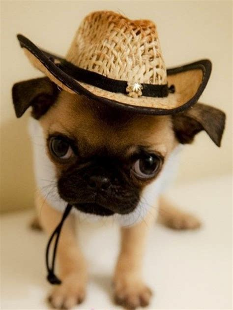 interesting facts about pugs 1000 ideas about facts about pugs on pug facts pugs and pug puppies